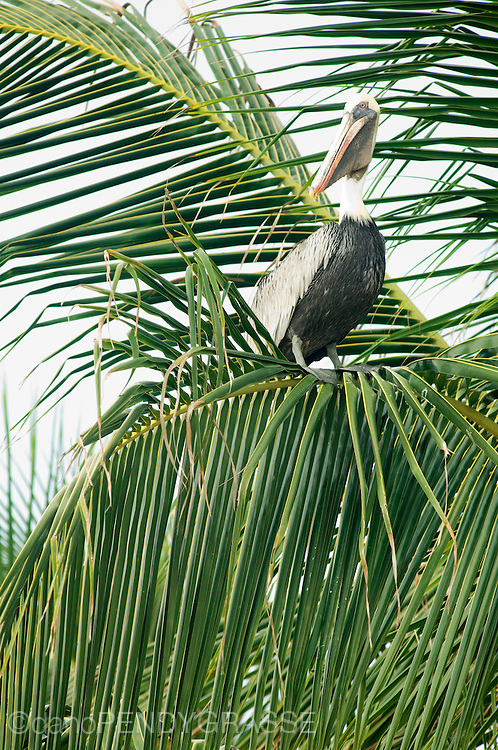 A Pelican rests on a palm branch while it carefully watches the water for signs of fish.