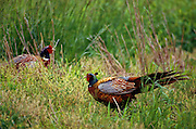 Male Ring-necked Pheasants facing off in territorial dispute.