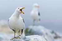 Kelp Gull calling, Western Cape, South Africa, Malgas Island