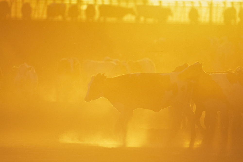 CALIFORNIA - Dairy operation at sunset