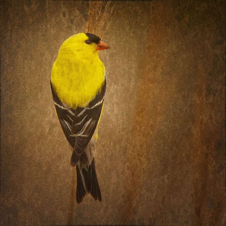 American Goldfinch (Carduelis tristis), male