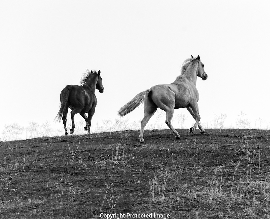 Horse Creek Ranch mares silhouette., Washington, America, Isobel Springett