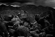 Suguaro Cacti Arizona USA