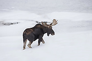 As the snow begins to deepen during mid-winter, wildlife expend precious energy in their effort to find food.  Moose and other ungulates must travel through the deep snow in hopes of finding browse that will sustain them through the long Wyoming winter.