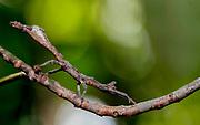 Unidentified praying mantis from Andasibe, Madagascar.