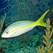 Yellowtail Snapper feed in open water above reefs in Tropical West Atlantic; picture taken Little Cayman.