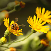 Close-up of a bee and a flower, at the Hassayampa River Preserve, Wickenburg, AZ