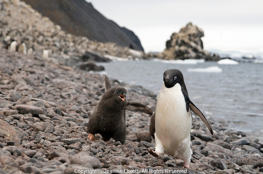 Adelie penguin chicks chasing a parent, the winner gets fed.