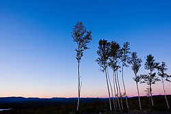 Birch trees at sunset in Jericho Mountain State Park in Berlin, New Hampshire. White Mountains.