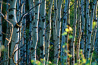 White poplar trees reflect early morning sun, Cypress Hills Park, Saskatchewan