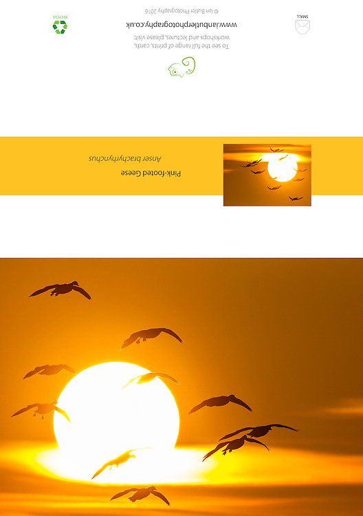 Pink-footed Geese Anas brachyrhynchus, flying against setting sun, A5 Greeting Card with Peel and Seal White Envelope