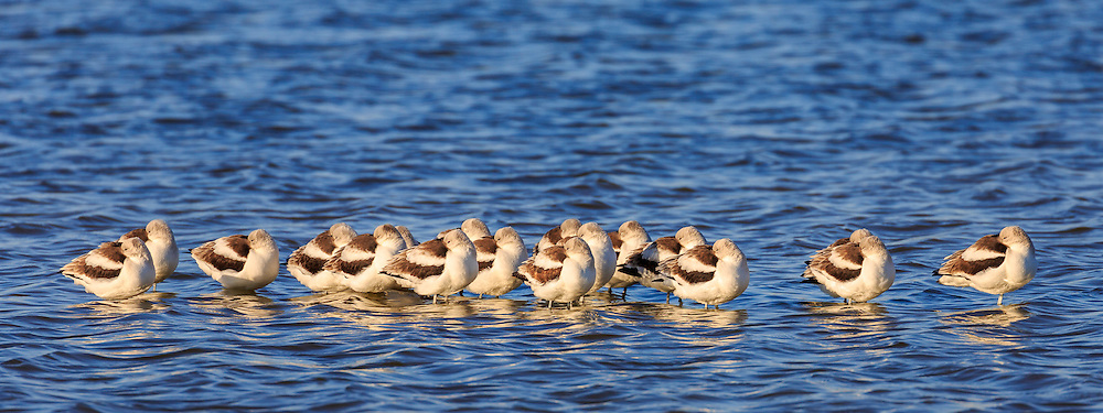 A flock of resting avocets at Pea Island on the Outer Banks.