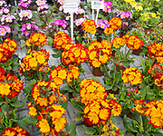 Display of bright polyanthus plants Ladybird Nurseries garden centre, Gromford, Suffolk, England, UK  - Polyanthus Fire Dragon