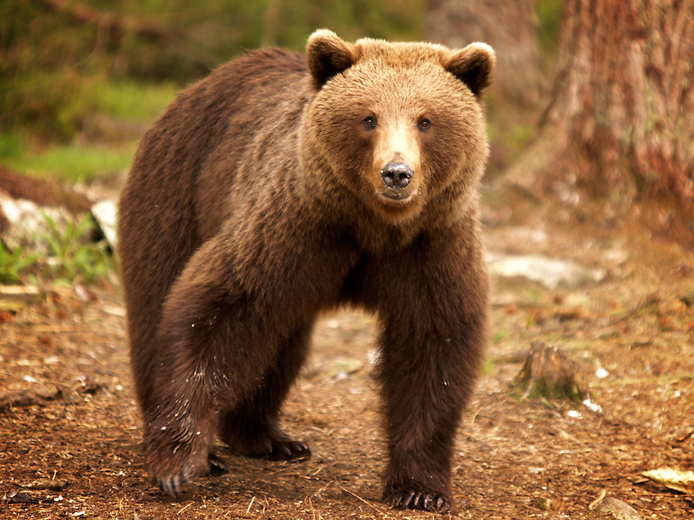 Finland, Martinselkonen.<br /> Russian Brown Bears in the forest near the border between Russia and Finland.<br /> Photography by Richard Olivier&copy;2004<br /> Tel 0044 07947 884 517<br /> www.linkphotographers.com