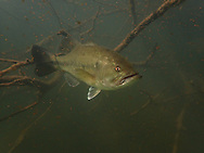 Largemouth Bass (male guarding fry)<br /> <br /> Todd Pearsons/Engbretson Underwater Photography
