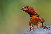 Lava Lizard female (Microlophus delanonis)<br /> Punta Suarez, Española Island, GALAPAGOS ISLANDS<br /> ECUADOR.  South America