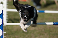 This dog is competing in an AKC agility competition at the Wine Country Circuit Dog Show in Romulus, NY held at Sampson State Park.