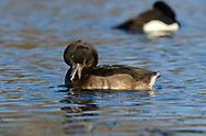 Tufted Duck - Aythya fuligula - 1st winter female