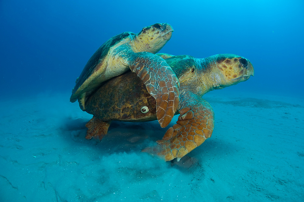 Mating Loggerhead Sea Turtles (Caretta caretta) offshore Palm Beach, FL. Florida is home to half the world's population of Loggerheads, and Palm Beach County a major nesting area.