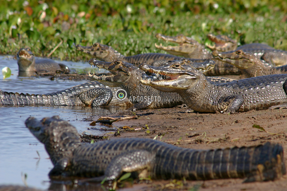 Jacare-do-pantanal. Pantanal, Mato Grosso do Sul, Corumba. Jacare-do-pantanal (Caiman yacare) eh um jacare que habita a parte central da America do Sul. Mede entre dois a tres metros de comprimento e seu padrao de coloraco eh bastante variado, sendo o dorso particularmente escuro, com faixas transversais amarelas, principalmente na regiao da cauda. / Yacare Caiman. Pantanal in Mato Grosso do Sul state, Corumba town. The Yacare Caiman (Caiman yacare) is a species of caiman found in central South America. As a medium-small sized crocodilian, most adult individuals grow to roughly 2 or 2.5 meters in length.