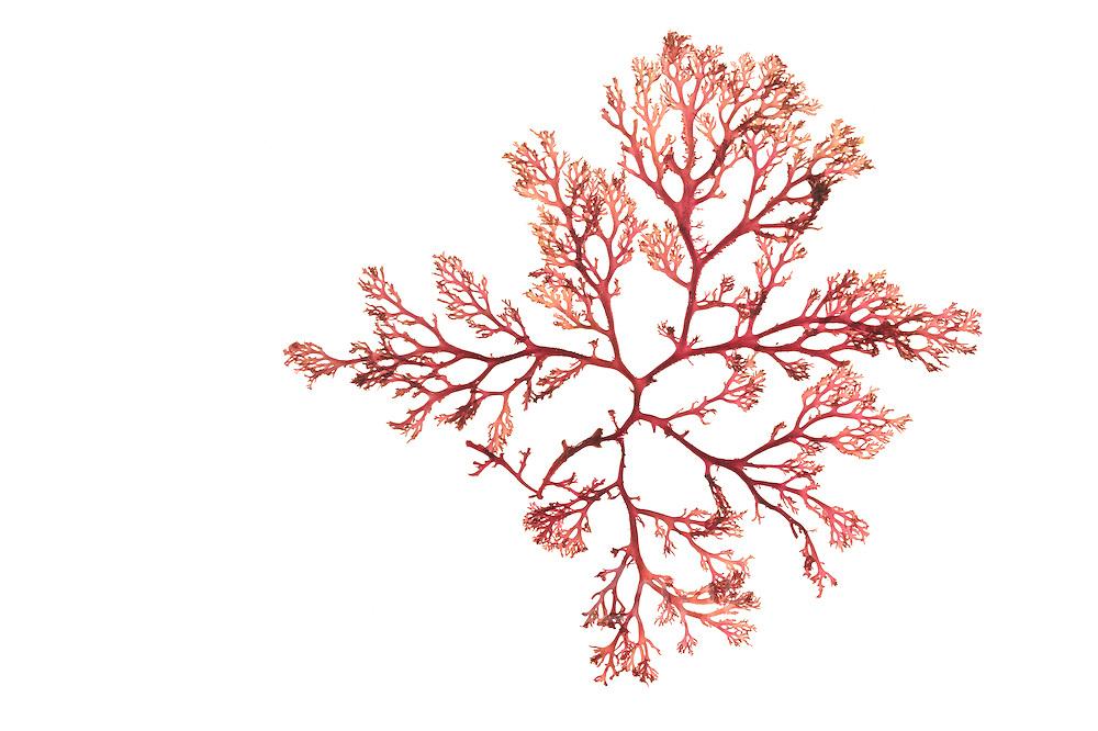 Drifting red algae (Euthora cristata) ( synonym Callophyllis cristata), Kuetzing, Bear Cove, Petit Manan National Wildlife Refuge, USA, Atlantic | AFP 972 Herbarium Akira Peters