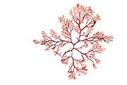 Drifting red algae (Euthora cristata) ( synonym Callophyllis cristata), Kuetzing, Bear Cove, Petit Manan National Wildlife Refuge, USA, Atlantic   AFP 972 Herbarium Akira Peters