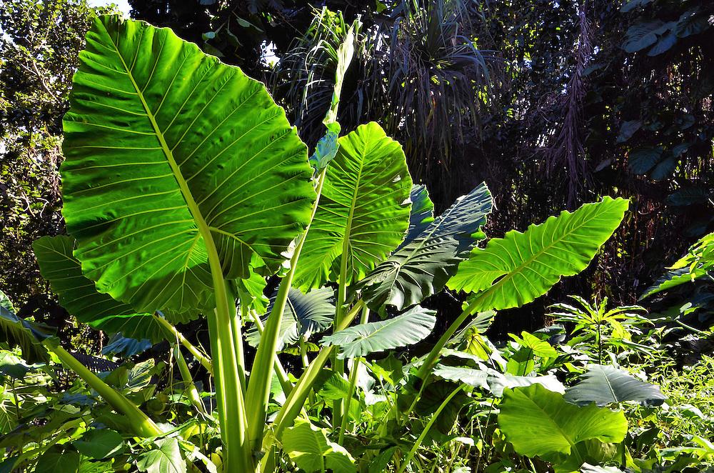 Taro Plants in Forest on Hāmāk...