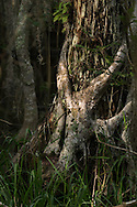 Stranglehold - Big Cypress National Preserve