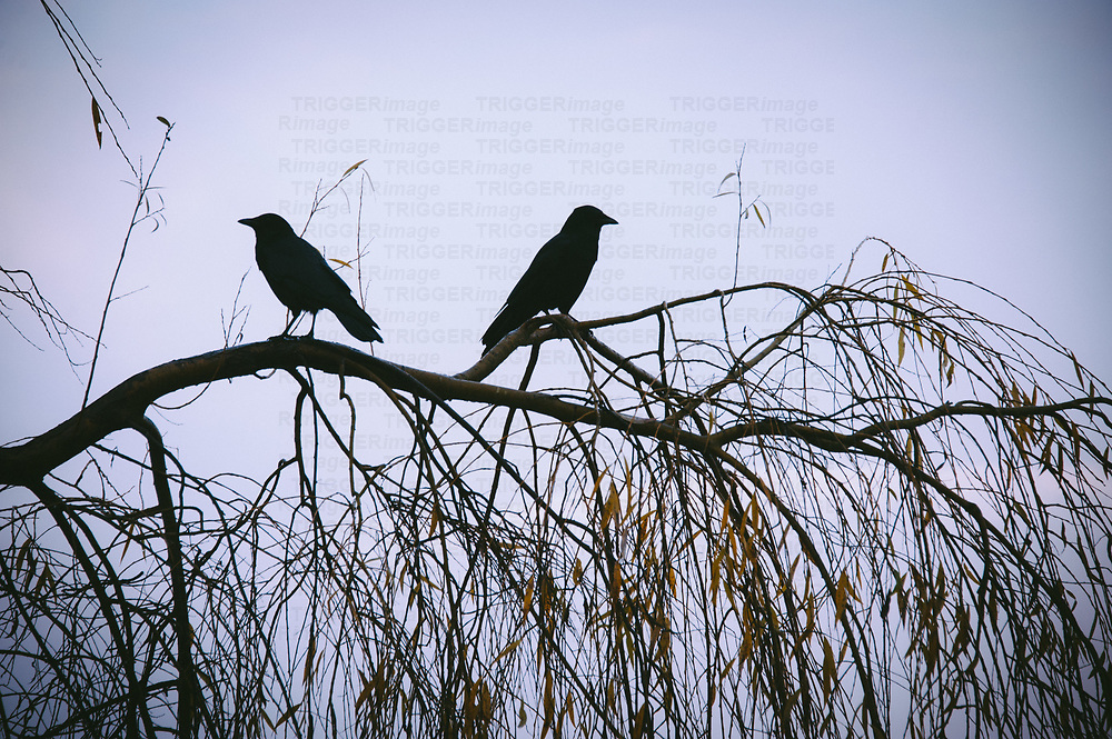 Two crows sitting on a branch ooking opposite directions