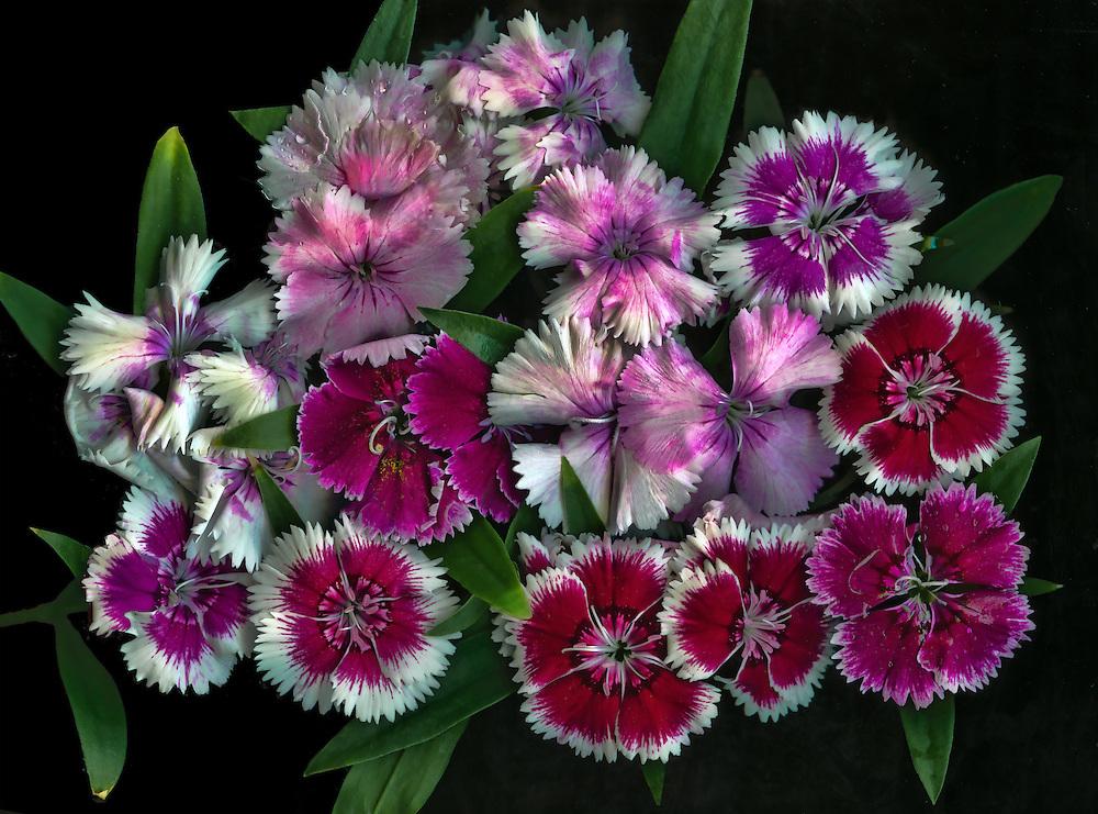 Dianthus (Pinks) / #VAR253