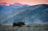 a young bull moose strolls through the sagebrush in front of rising steam as the mountains light up with alpenglow at sunrise