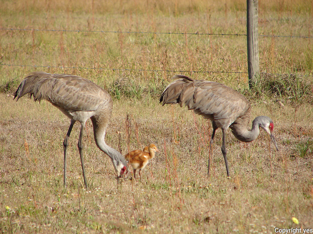 Sandhill Cranes with baby