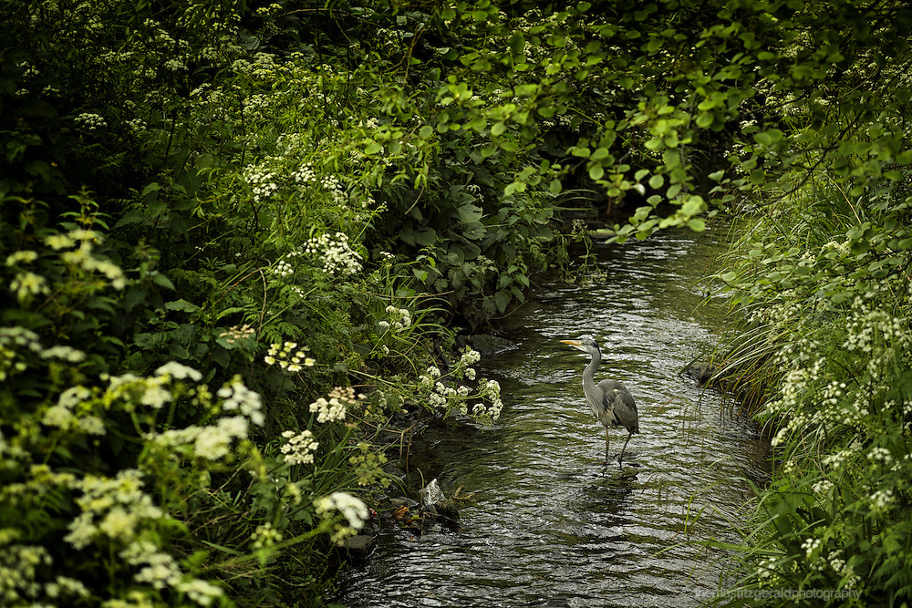 A Heron wades through a local stream carefully eying passers by while keeping a watchful eye on the water for food