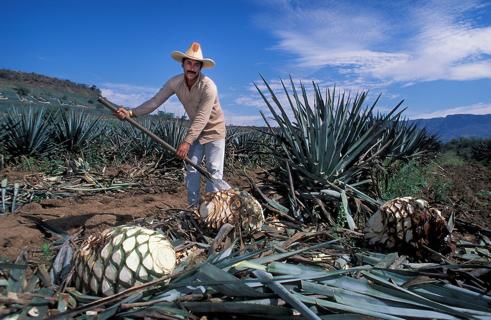 Agave harvest,Tequila ,Jalisco ,Mexico