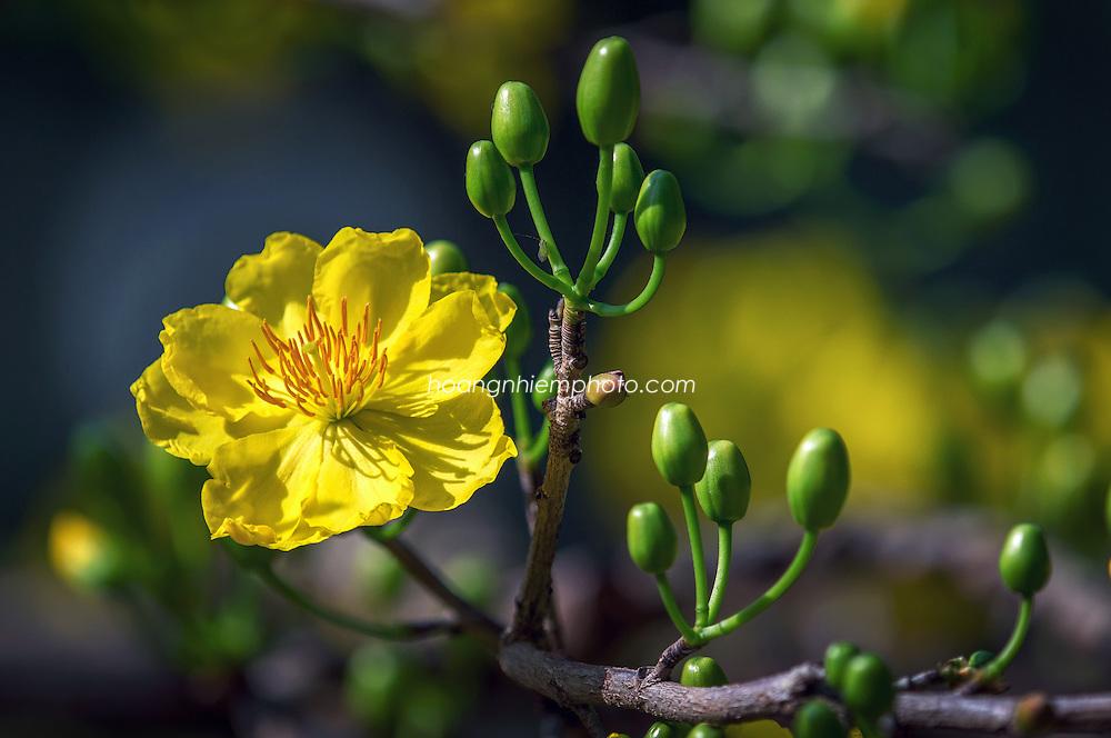 Hoa mai vàng -Hoàng thế Nhiệm