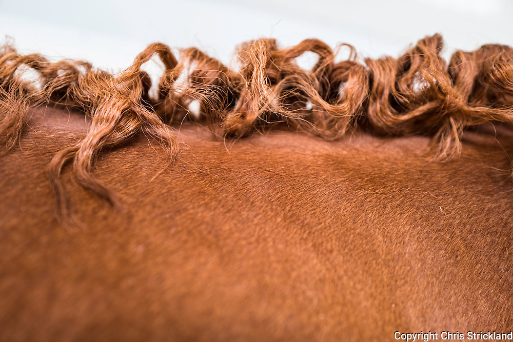 ISEC, Selkirk, Scottish Borders, UK. 16th July 2016. A horses mane after plaits have been removed.
