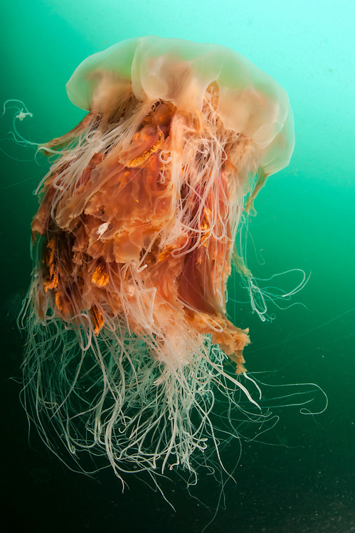 Lion's Mane Jellyfish, Cyanea capillata, swims in the dark green waters of Vancouver Island, British Columbia, Canada. This is the largest species of jellyfish.