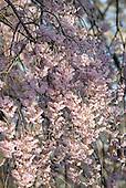 Cherry Blossoms etc...