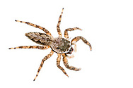 Jumping Spider (Platycryptus undatus)<br /> United States: Texas: Fayette Co.<br /> 7337 N FM 1291<br /> Fayetteville<br /> 8-Sep-2017<br /> J.C. Abbott #2982