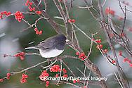 01569-014.09 Dark-eyed Junco (Junco hyemalis) in Common Winterberry (Ilex verticillata) in winter, Marion Co. IL