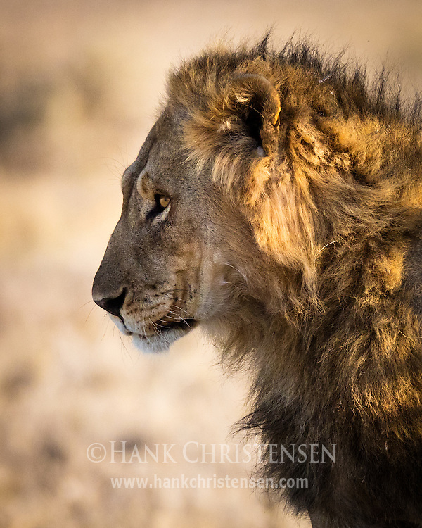 A lion stands in the shade of a small tree, escaping from the hot afternoon sun, Etosha National Park, Namibia
