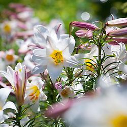 Lilium regale AGM - King's lily