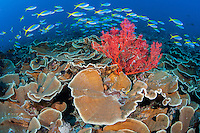 Fusiliers cruise above plate corals and Gorgonian