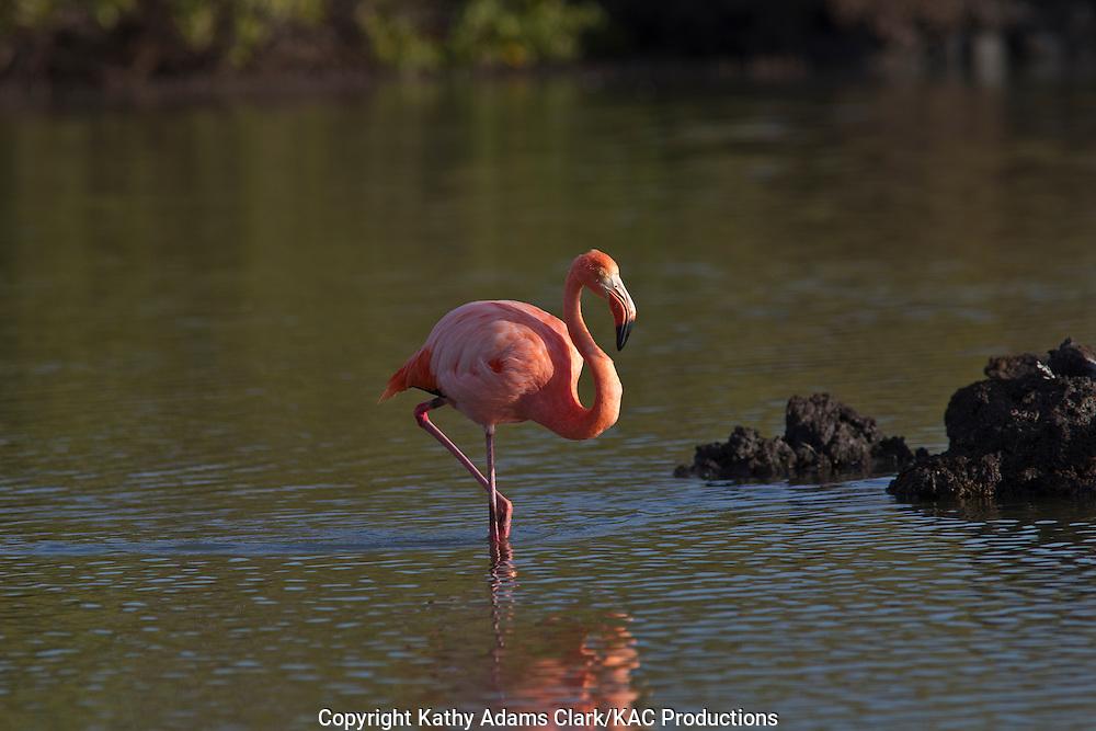 Greater flamingo, Bachas Beach, Santa Cruz Island, Galapagos, Ecuador.