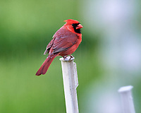 Northern Cardinal on a post. Image taken with a Nikon D5 camera and 600 mm f/4 VR lens (ISO 1600, 600 mm, f/5.6, 1/320 sec).