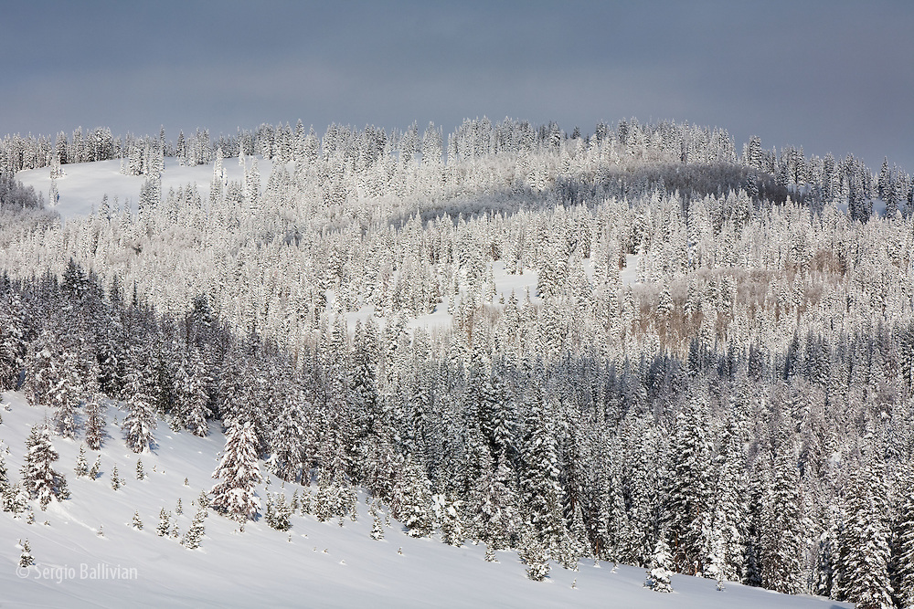 Fresh snow covers a deep pine forest at Rabbit Ear's Pass near Steamboat Springs, Colorado.
