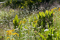 Butterfly habitat (montane wet meadow) at Sherman Pass, Tulare Co, CA, USA, on 23-Jul-16