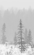 Black and White photograph of Black Spruce in Algonquin Provincial Park at winter's end.