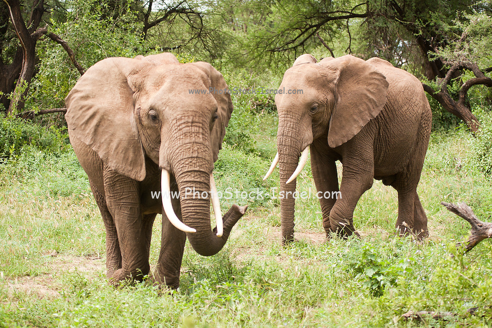 Herd of African elephants (Loxodonta africana). Photographed in Tanzania
