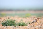 Stone Curlew (Burhinus oedicnemus) in habitat. Lleida. Catalonia. Spain.